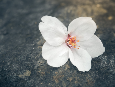 Beautiful White Sakura Flowers On The Stone, Selective Focus Stock Photo
