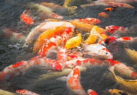 The beautiful carp koi fish swimming in pond in the garden.