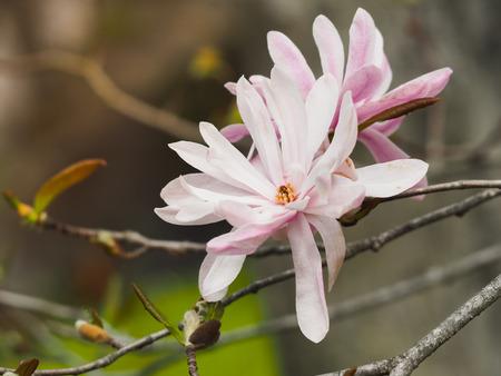 Beautiful Pink Peonies Flowers, Japan, Selective Focus