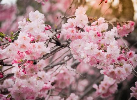 Beautiful Pink Sakura Flowers in Japan, Selective Focus Stock Photo