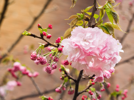 Beautiful Sakura full blooming at the season, Osaka, Japan Stock Photo
