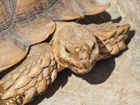Portrait of African spurred tortoise (Centrochelys sulcata) on the floor.