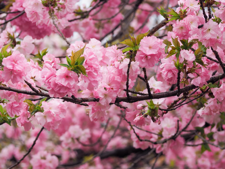 Beautiful Sakura Flowers in Japan, Selective Focus and Close up Stock Photo