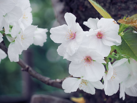 Beautiful White Sakura Flowers in Japan, Selective Focus and Close up