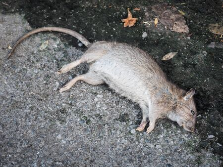 Dead rat death on the sidewalk floor. Inspection and exclusion concept.