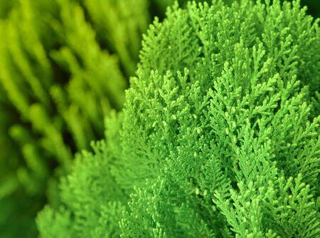 Japanese cypress (Chamaecyparis obtusa) or Hinoki Cypress branch, Christmas evergreen background. Stock Photo