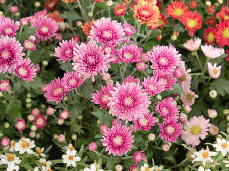 Colorful pink daises flowers in the park. Flowers for gardening.