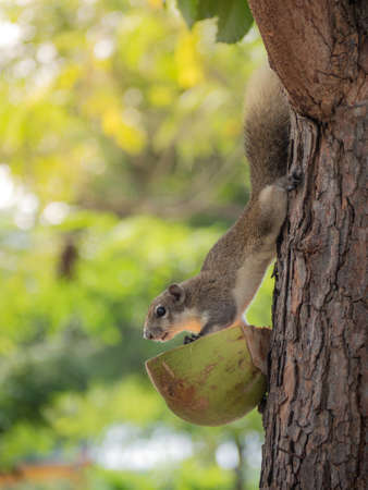 Cute forest squirrel came down from the tree to eat food from the villagers.