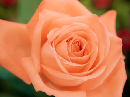 Rose flower in nature. Beautiful orange rose in soft light. Selective focus and close up
