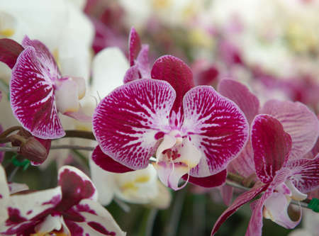 Beautiful Aphrodite's orchid or Pink Phalaenopsis amabilis in the Park.