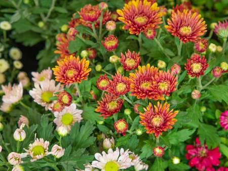 Colorful orange daises flowers in the park. Flowers for gardening. Standard-Bild