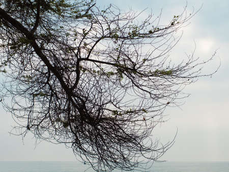 Silhouette of a big tree branch against the sky at the edge of the sea in the morning.