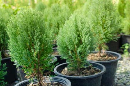 Cypress branch or Christmas evergreen tree on Selective focus. Standard-Bild