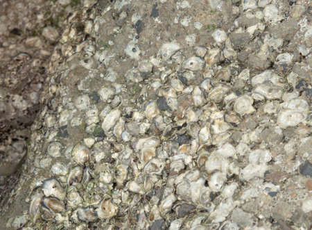Remains of shells or sea aphids cling to the rocks on the sandy beach.