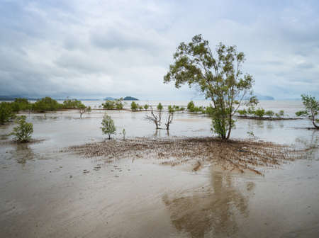 Mangrove forest when the sea water recedes In the southern provinces of Thailand.