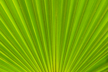Green banana leaf in details, line, middle line, pattern of  radial leaf, background Stock Photo