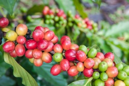 熟した: 熟したコーヒー