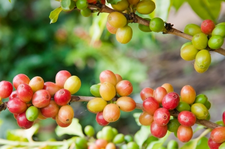 fruitful: Coffee Tree Branches