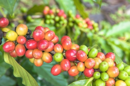 Arabica coffee on tree branch