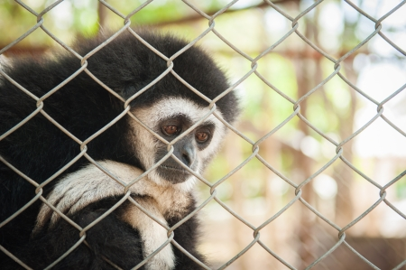 tremble: Gibbon in cage Stock Photo