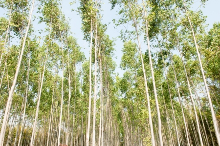 feedstock: Eucalyptus plantations  Stock Photo