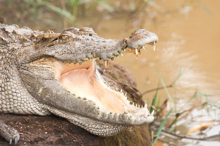 crocodile relaxing photo