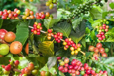 coffee crop: Coffee crop collections