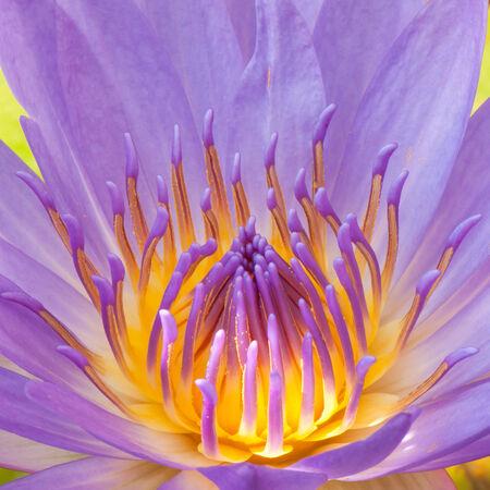 close-up pollen and petals photo