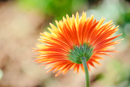 Orange gerbera flowers blooming in the morning photo