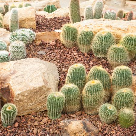 Cactus at the garden photo
