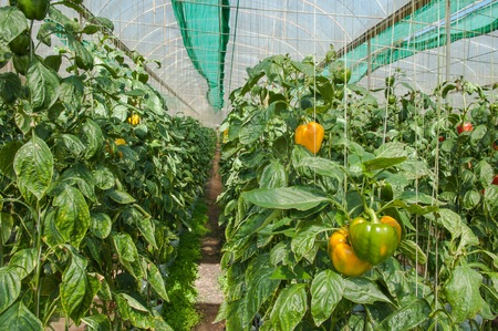 bush pepper: Pepper farm