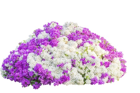 Bougainvillea Flowers isolated photo