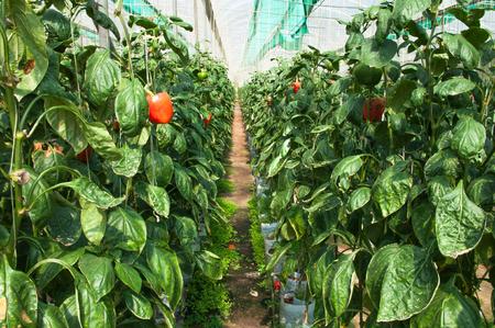 bush pepper: Pepper intensive farm