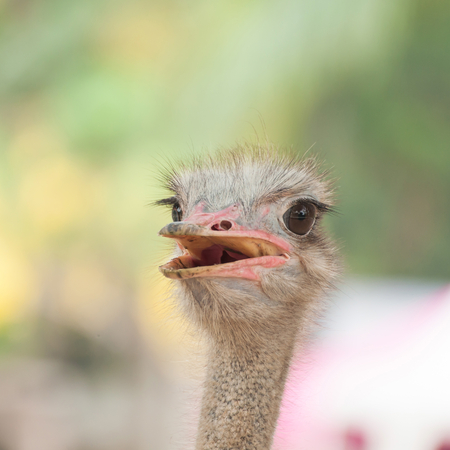 deportment: Ostrich head Stock Photo