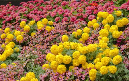 garden marigold: Marigold at the Garden