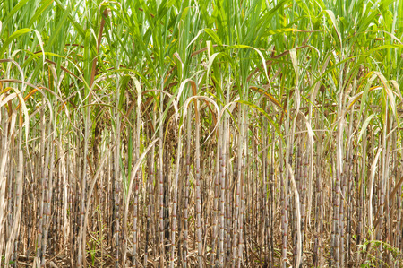 filming point of view: Sugar Cane Plantation