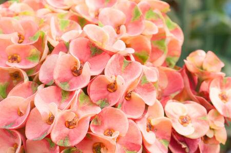 Euphorbia flowers photo