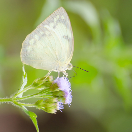 pet photography: white butterfly on white flowers Stock Photo