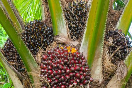 palm oil tree photo