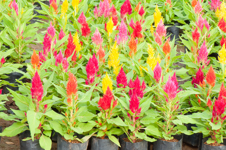 asparagus bed: Celosia flower Stock Photo