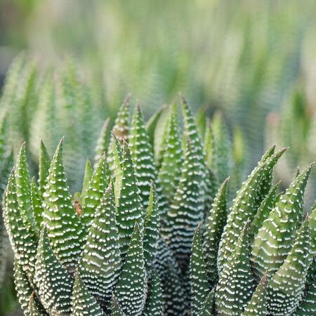 curative: Aloe vera - curative plant