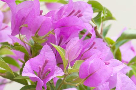 bougainvillea flowers: Purple Bougainvillea flowers