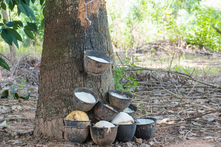 vulcanization: Rubber tree and cup