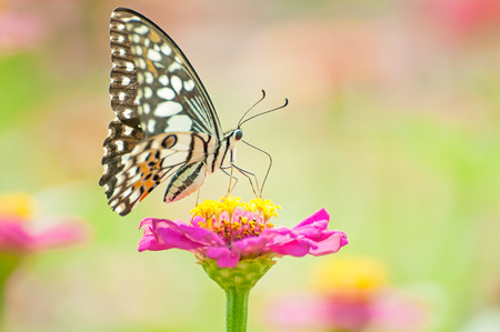 sanguine: butterfly on  pink flower Stock Photo