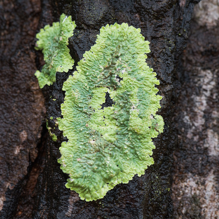 mutualism: Flavoparmelia caperata macrolichens Stock Photo