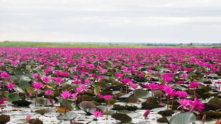 thani: Pink water lily in Thailand