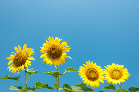 Sunflowers and clear sky photo