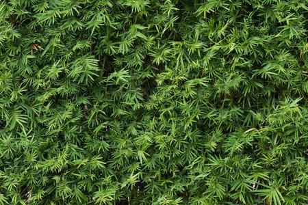 bamboo: Bamboo leaf background Stock Photo