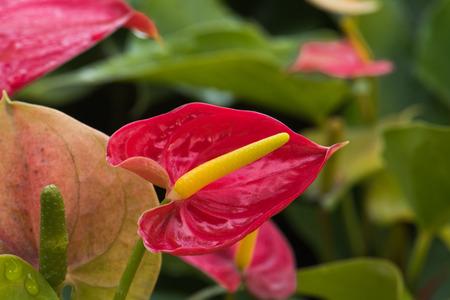 anthurium: Red Anthurium flower