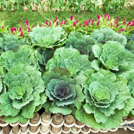 organics: Cabbage organics on timber